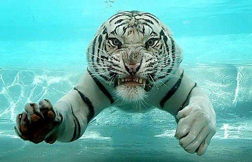 Imagens do Tigre-de-bengala: